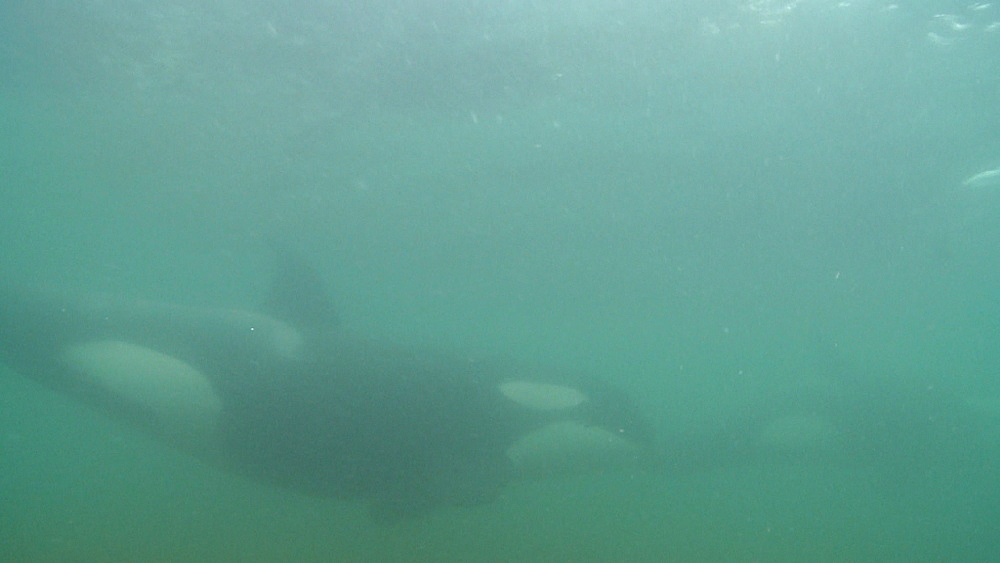 Killer whale (Orca orcinus). Underwater. Pair swim. Murky. Bay of Islands. New Zealand - 1034-237