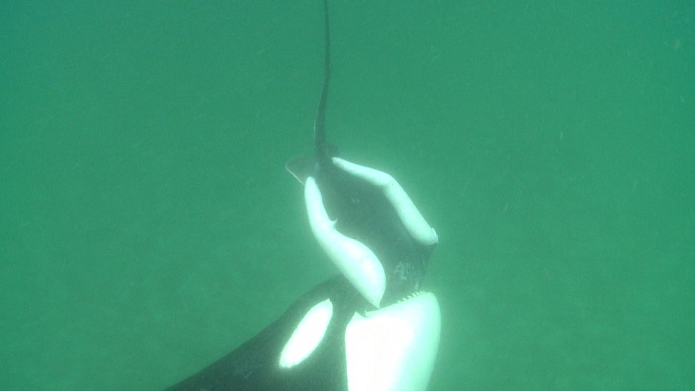 Killer whale (Orca orcinus). Adult drops ray, other Orca grabs it. Underwater.  Murky. Bay of Islands. New Zealand - 1034-238