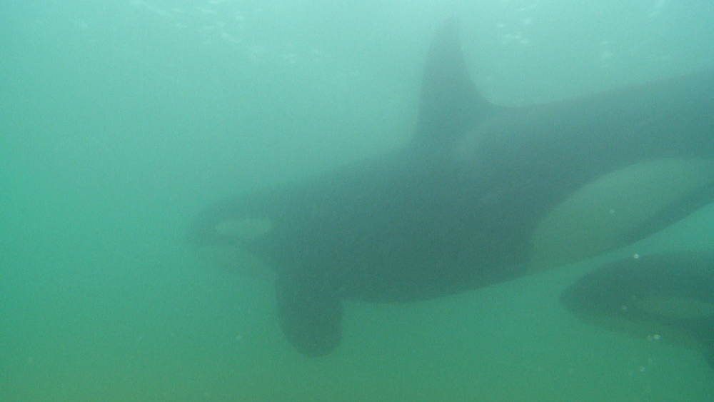 Killer whale (Orca orcinus). Underwater. Pair swim. Murky. Bay of Islands. New Zealand - 1034-240