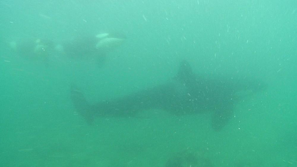 Killer whale (Orca orcinus). Underwater. Pod swim. Murky. Bay of Islands. New Zealand - 1034-241