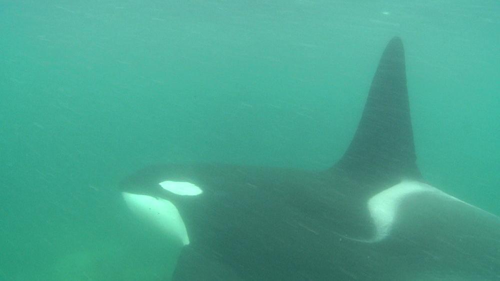 Killer whale (Orca orcinus). Underwater. Pod swim. Murky. Bay of Islands. New Zealand