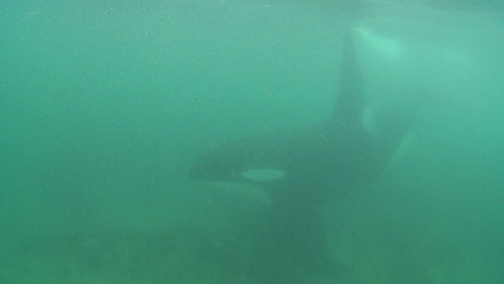 Killer whale (Orca orcinus). Underwater. Pod swim in shallows. Murky. Bay of Islands. New Zealand - 1034-243