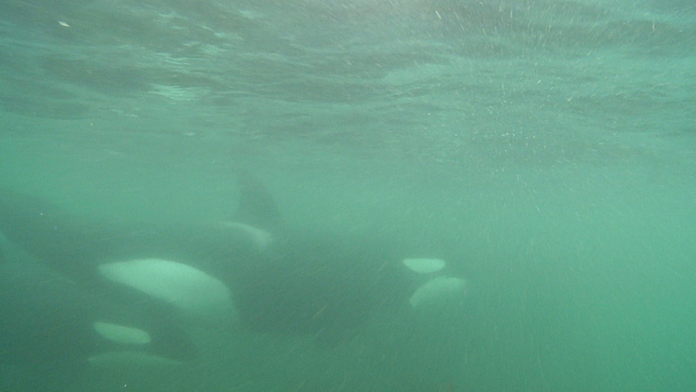 Killer whale (Orca orcinus). Underwater. Pod swim in shallows. Murky. Bay of Islands. New Zealand - 1034-244