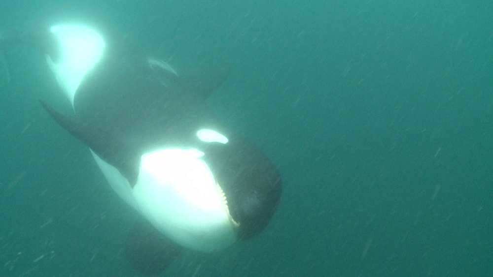 Killer whale (Orca orcinus). Underwater. Pod swims. Bay of Islands. New Zealand