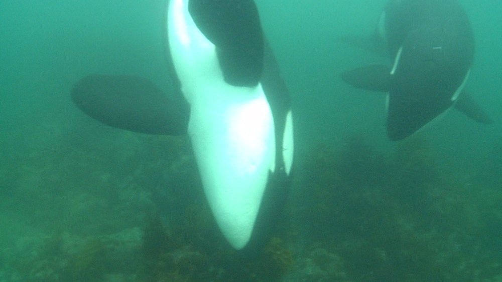 Killer whale (Orca orcinus). Underwater. Pod swim over ray on sea floor. Bay of Islands. New Zealand - 1034-246