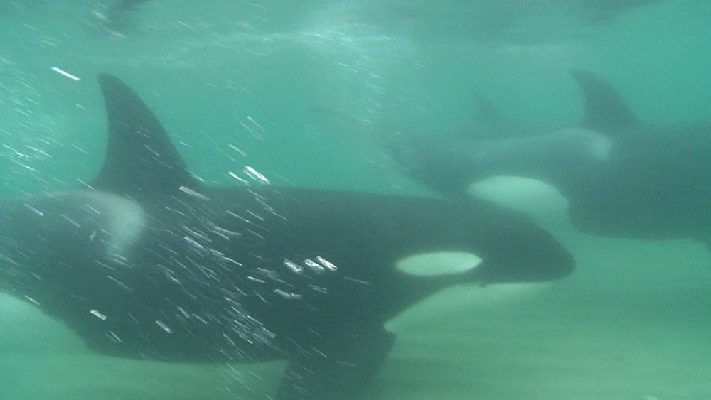 Killer whale (Orca orcinus). Underwater. Pair swim in shallows.  Bay of Islands. New Zealand - 1034-249