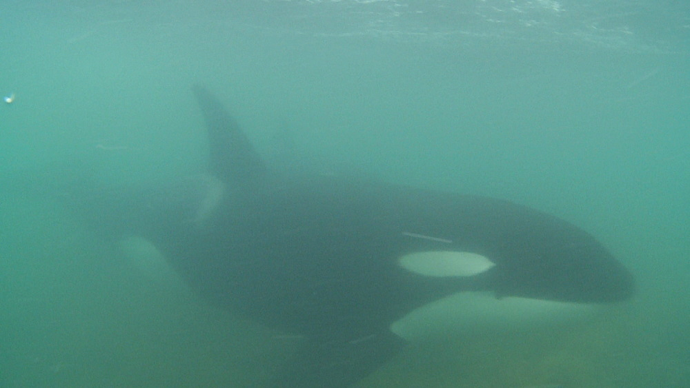 Killer whale (Orca orcinus). Underwater. Pair swim in shallows.  Bay of Islands. New Zealand - 1034-252