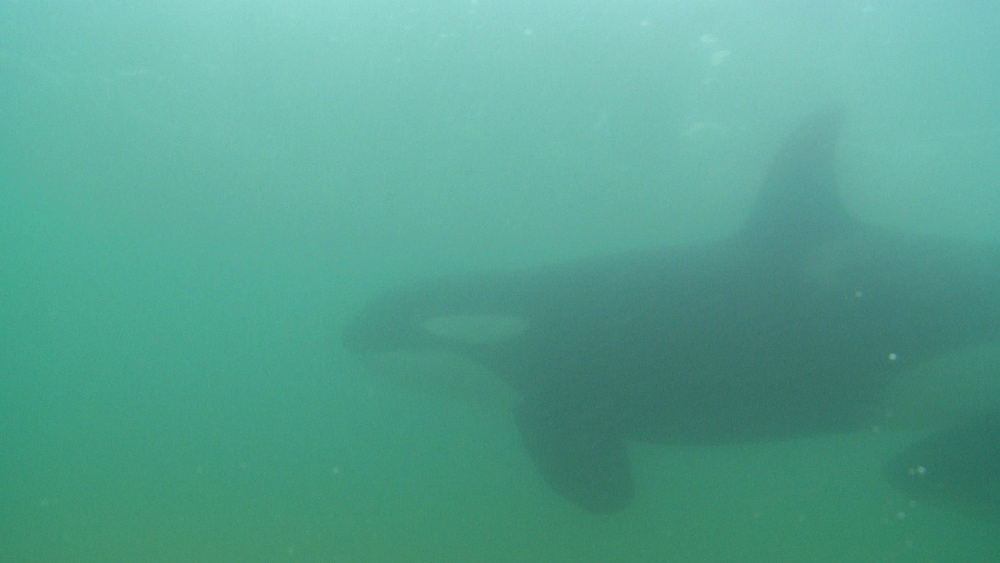 Killer whale (Orca orcinus). Adult and juvenile. Underwater.  Murky. Bay of Islands. New Zealand - 1034-253