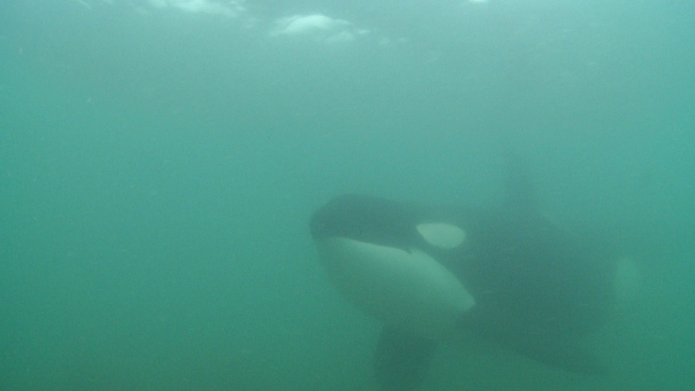 Killer whale (Orca orcinus). Adult past camera. Underwater.  Murky. Bay of Islands. New Zealand - 1034-254