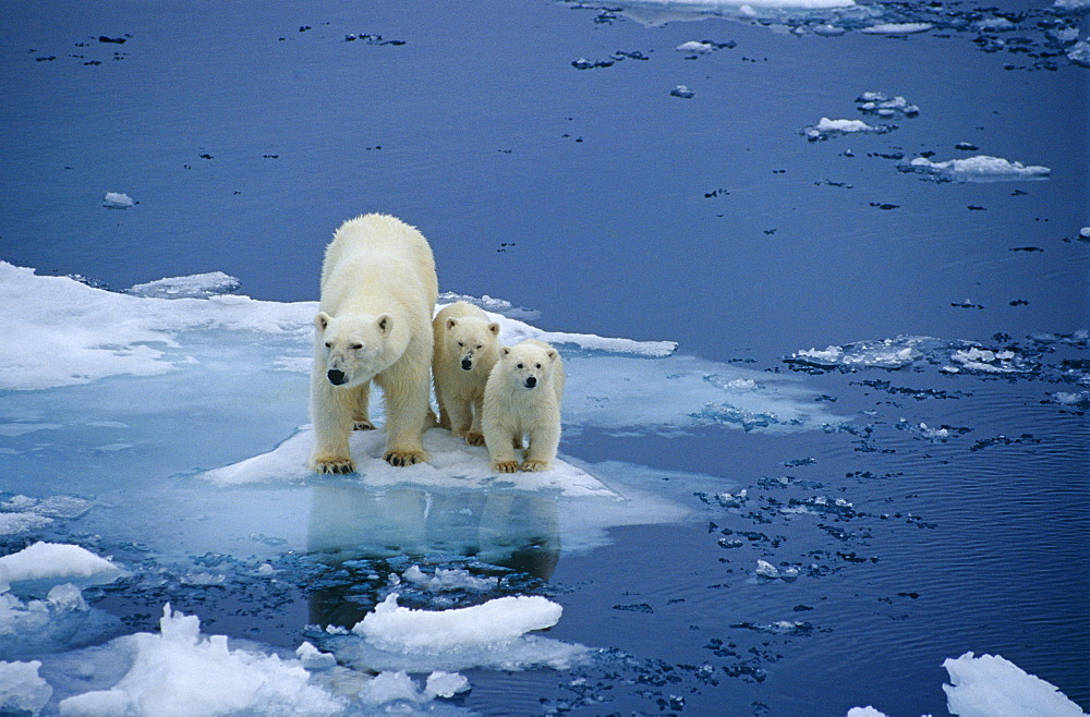 Polar bear (Ursus maritimus) female with two first-ear cubs on pack ice. Spitzbergen, Polar High Arctic, North Atlantic.