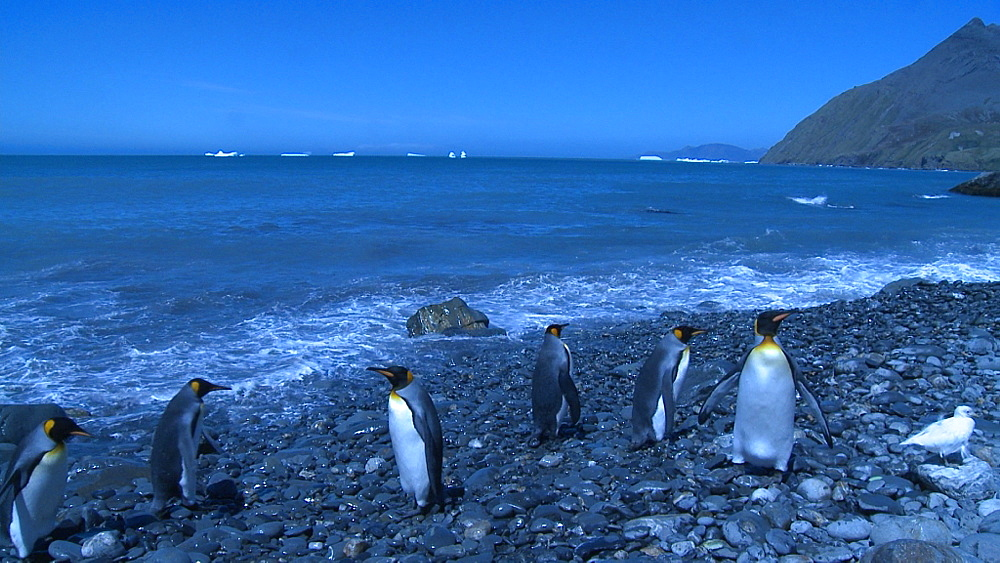 King penguins (Aptenodytes patagonicus) buffeted by surf. Snowy Sheathbills (Chionis alba) in shot - blue cast to shot. Gold Harbour. South Georgia