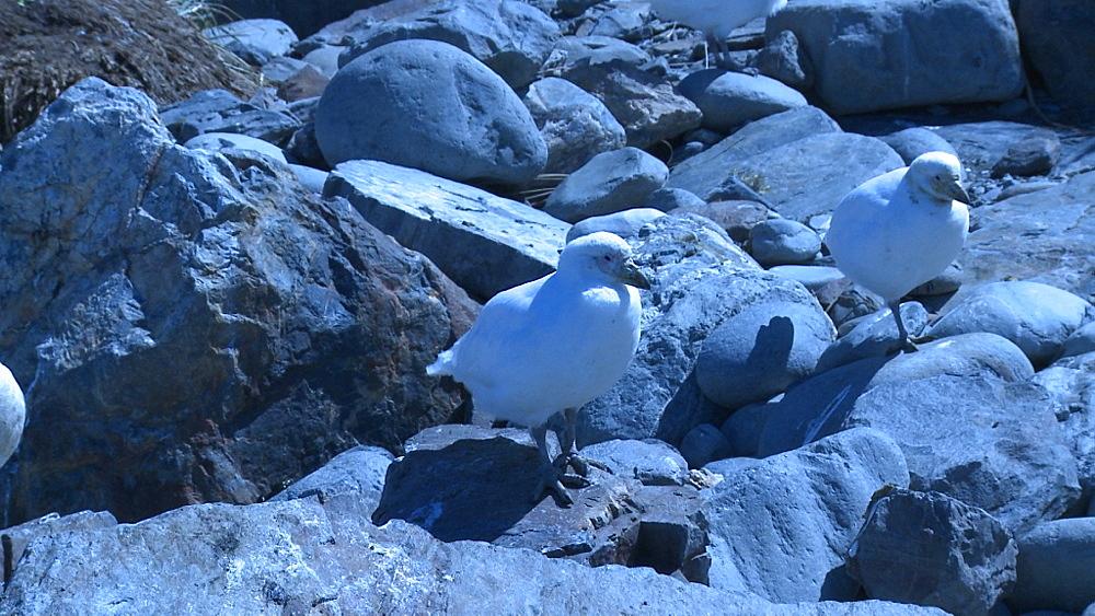 Snowy Sheathbills (Chionis alba) on rocks - blue cast to shot. Gold Harbour. South Georgia.