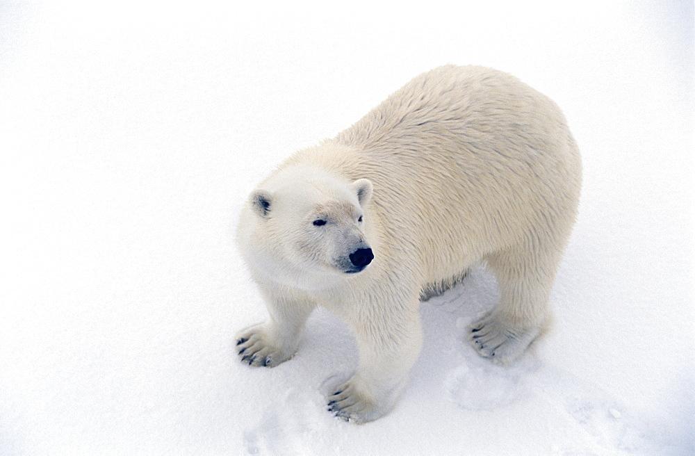 Polar bear (Ursus maritimus) large adult male on snow ice pack. Spitzbergen, Polar High Arctic, North Atlantic.
