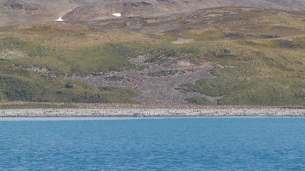 King penguin (Aptenodytes patagonicus) colony, Salisbury Plain.  Bay of Isles, South Georgia