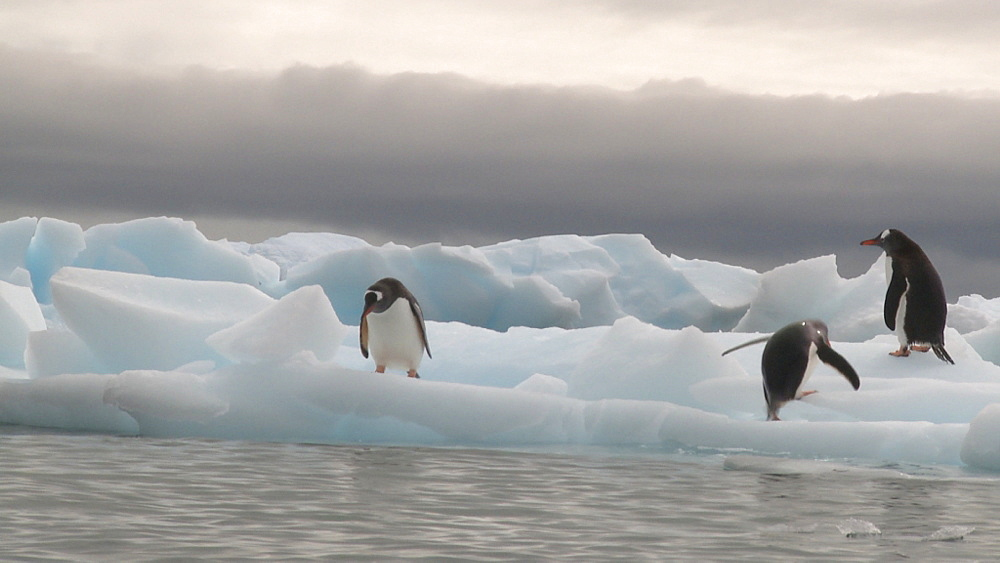 Gentoo penguins (Pygoscelis papua) on ice. Two more jump out of sea. Cuverville Island, Antarctic Peninsula