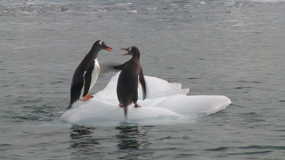 Gentoo penguin (Pygoscelis papua) defends floating ice from other penguins. Cuverville Island, Antarctic Peninsula
