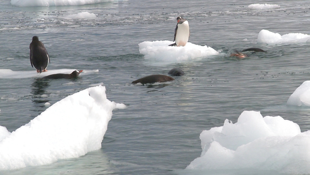 Gentoo penguin (Pygoscelis papua), on ice, more in water. Cuverville Island, Antarctic Peninsula