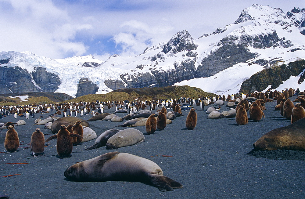Southern elephant seal (Mirounga leonine) with king penguins (Aptenodytes patagonicus) in background, South Georgia Island, Antartica, Southern ocean.