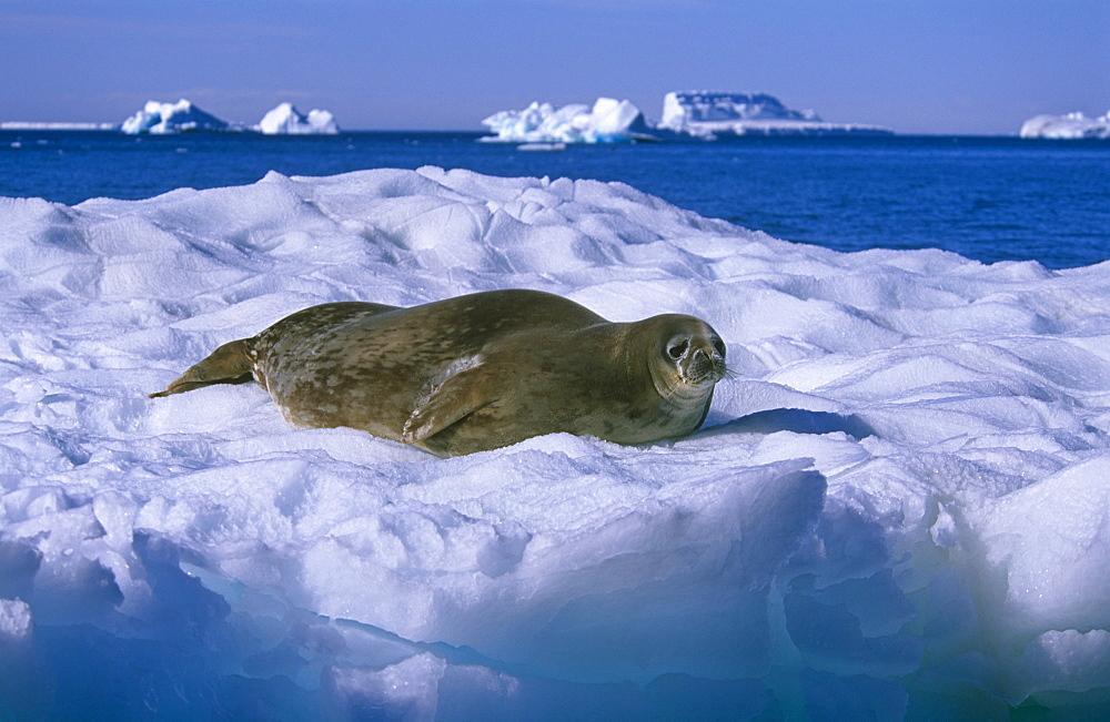 Weddell seal (Leptonychotes weddelli), hauled out. Antarctic Peninsula, Southern Ocean.