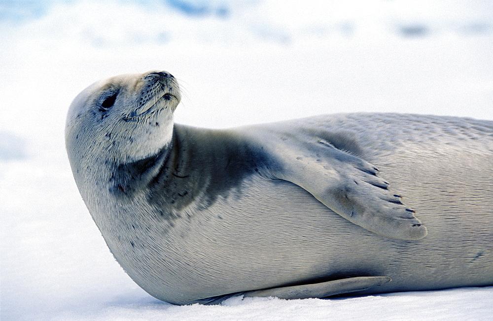 Crab eater seal (Lobodon carcinophaga) hauled out. Antarctic Peninsula, Southern Ocean.