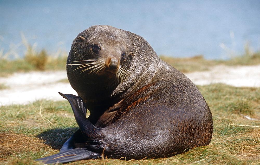 New Zealand fur seal (Arctochephalus forsteri) scratching. Pilots Bay, Otago Harbour, South Island, New Zealand.