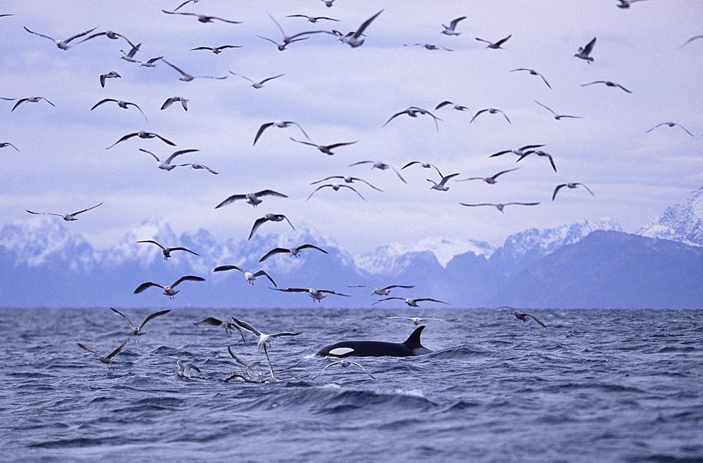 Killer whale (Orcinus orca) forgaging with gulls (on herring) as they move up the fjords. Tysford, northern Norway.