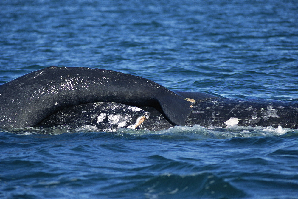 Grey whale (Eschrichtius robustus). Mother with calf resting on her back. San Ignacio Lagoon, Baja, California.
