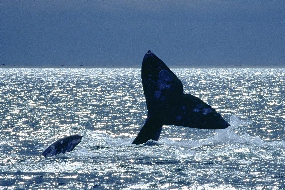 Grey whale 'fluking up' before deep dive (Eschrichtius robustus) San Ignacio, Baja California