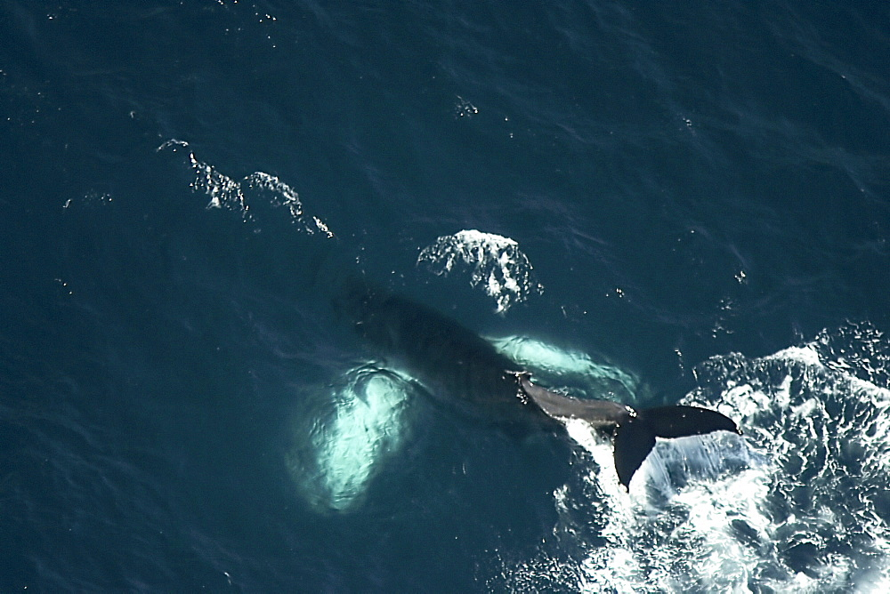 Humpback whale (Megaptera novaeangliae) at the surface and tail slapping continuously. Aerial photograph. Husavik, Iceland   (RR) - 1036-123