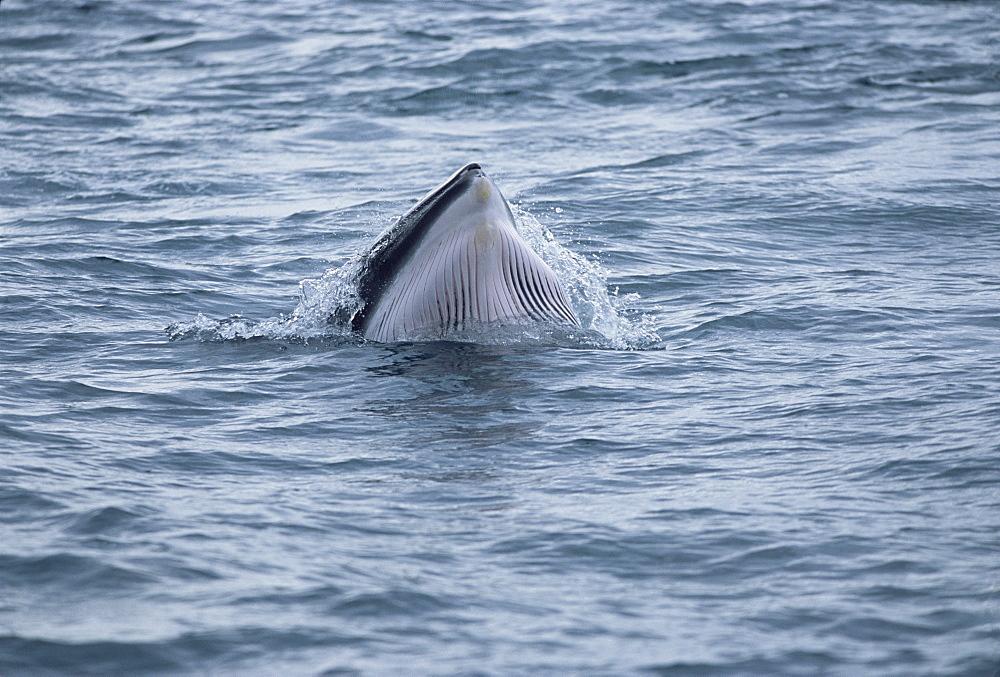 Minke whale (Balaenoptera acutorostrata) lunge feeding showing throat grooves, Iceland - 1036-133