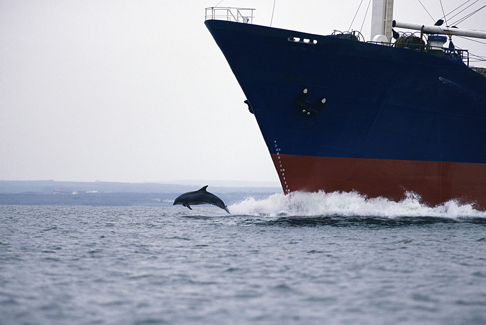 Bottlenose dolphin (Tursiops truncatus) bowriding cargo ship, Shannon, Ireland - 1036-16