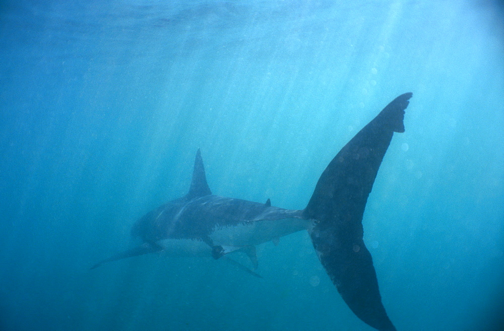 Great White Shark (Carcharodon carcharias). Walker Bay, South Africa. - 1036-175