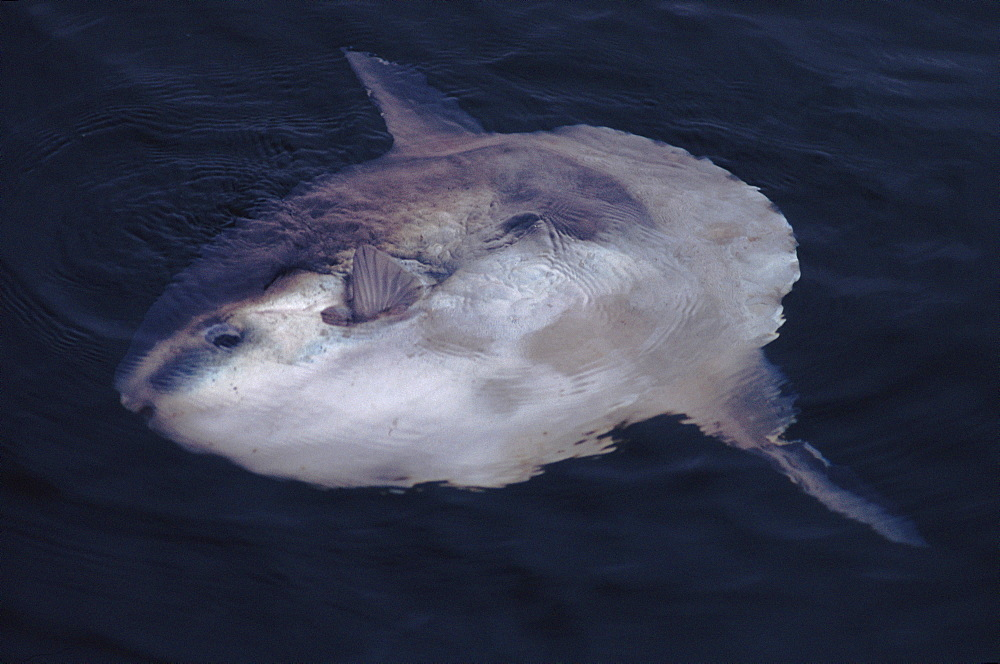 Ocean Sunfish (Mola mola) at sea surface off Gibraltar, Mediterranean