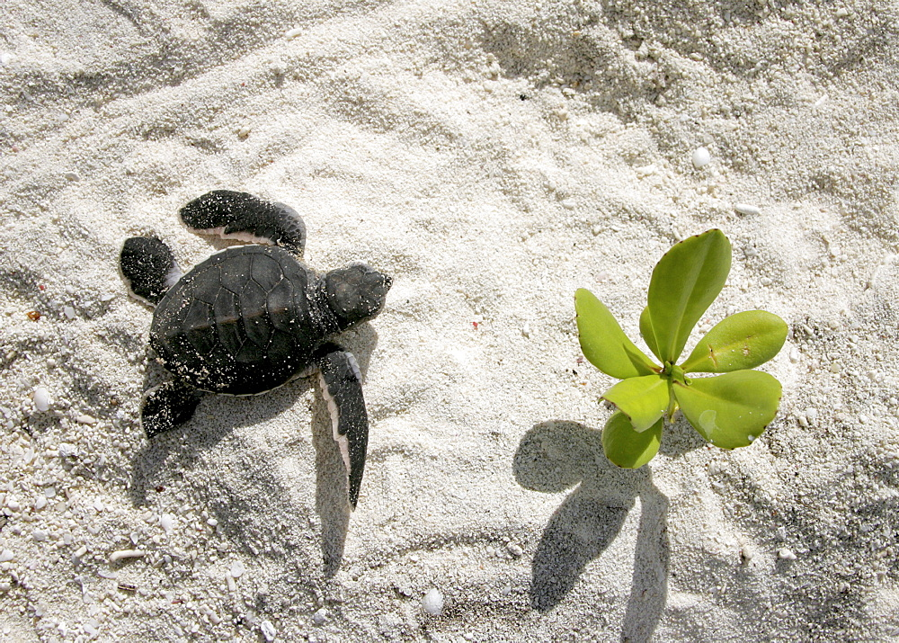 Green turtle (Chelonia mydas) hatchling, only a few hours old, returning to the sea. Bird Island, Seychelles, Indian Ocean    (RR)   - 1036-183