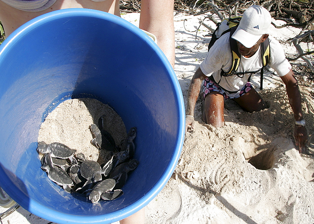 Green turtle (Chelonia mydas) hatchlings being rescued from damaged nest with floods expected. Bird Island, Seychelles, Indian Ocean    (RR)