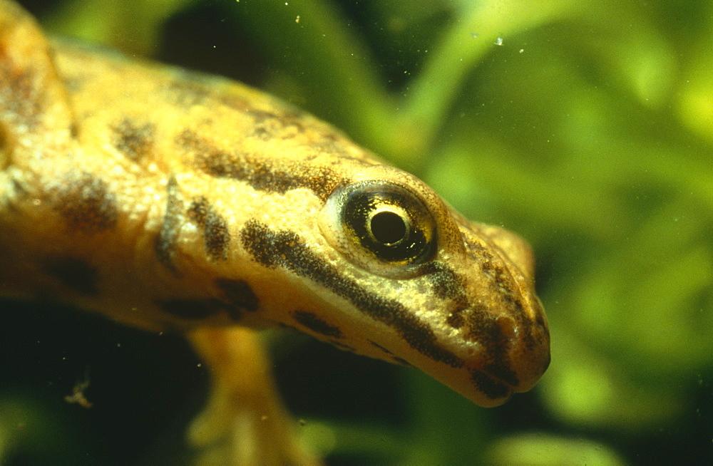 Smooth newt male (Triturus vulgaris).  Close up shot of head showing sensory pores in skin.  Avon, UK. - 1036-194