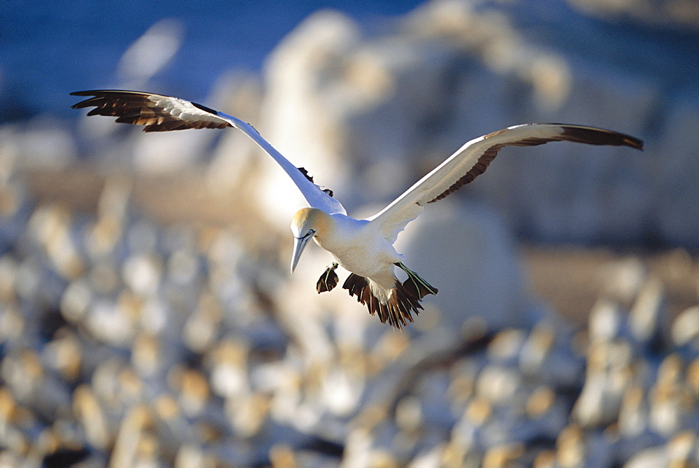 Cape gannet {Morus capensis} flying over colony to locate nest, Bird island, Lamberts bay, South Africa - 1036-200