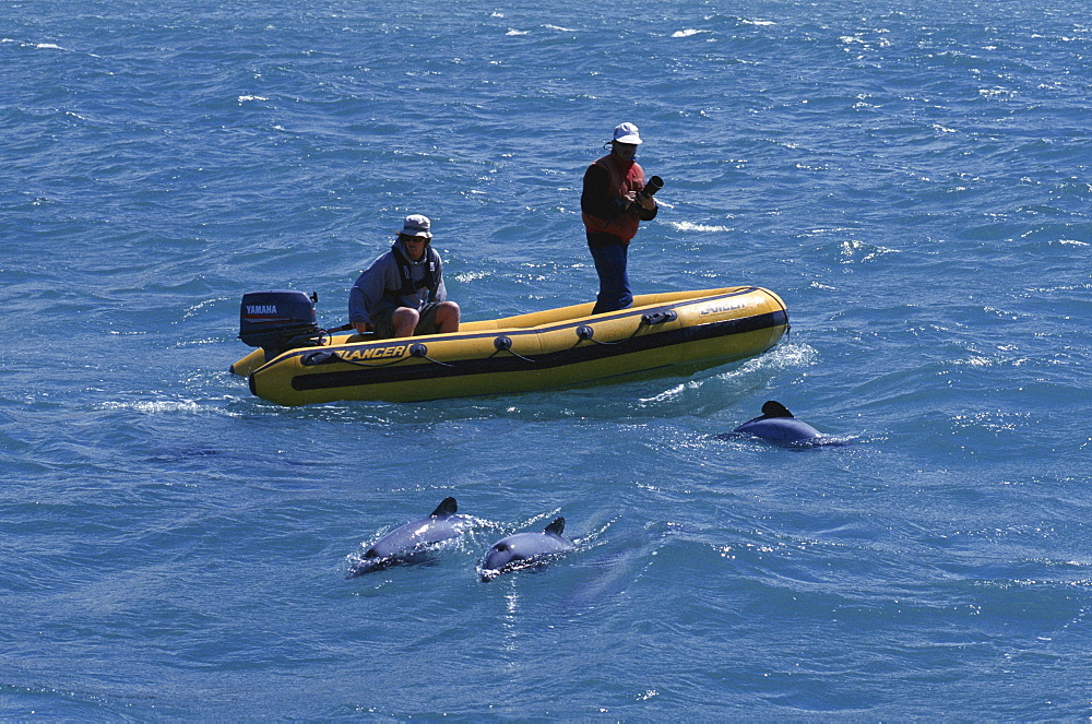 New Zealand Whale and Dolphin Trust working with Hectors dolphins (Cephalorhynchus hectori) Akaroa, South Island: New Zealand.