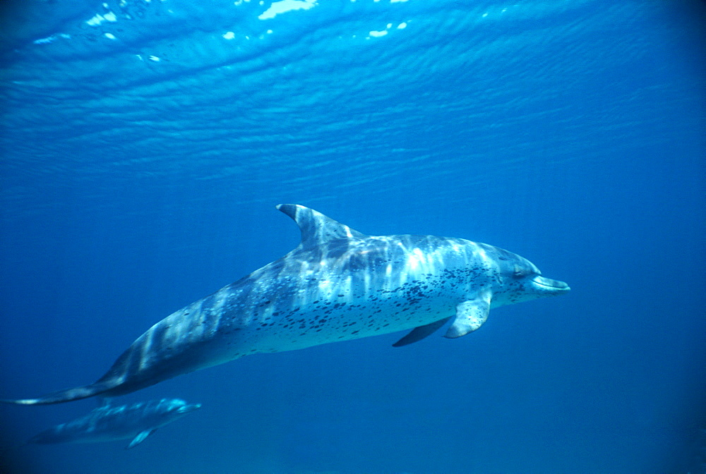 Atlantic spotted dolphin (Stenella frontalis). Bimini, Bahamas - 1036-21