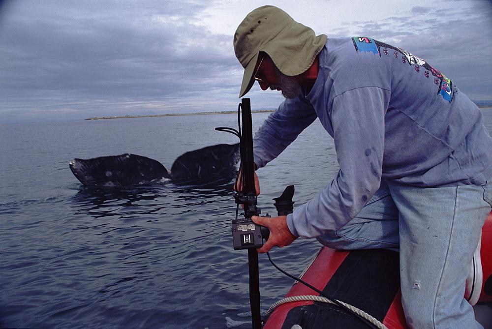 Camerman Peter Scoones filming Grey whale (Eschrichtius robustus) underwater with remote camera, San Ignacio lagoon, Baja California, Mexico