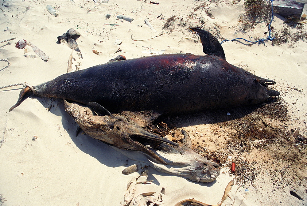 Bottlenose dolphin (Tursiops truncatus aduncus) and Finless porpoise (Neophocaena phocaenoides) - died from net entanglement. Found on island off coa