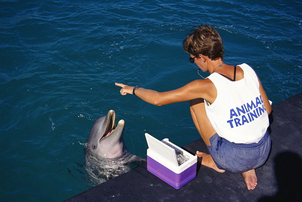 Bottlenose dolphins (Tursiops truncatus) and trainer. Being fed in an enclosure. Bahamas.
