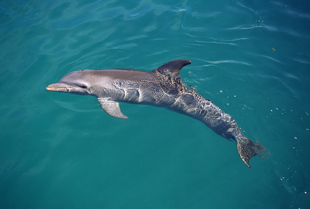 Bottlenose dolphin (Tursiops truncatus) on surface. Showing fins and blowhole. USA - 1036-249