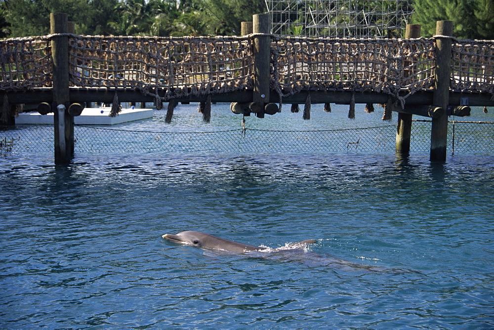 Bottlenose dolphin (Tursiops truncatus) in captivity. Bahamas - 1036-250