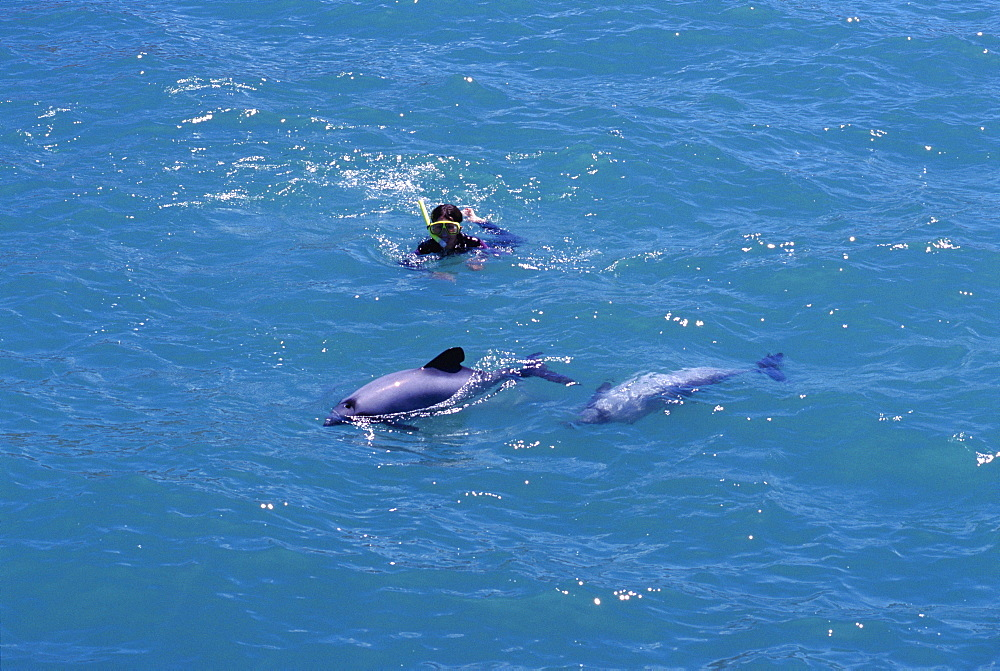 Hector's dolphins (Cephalorhynchus hectori) by swimmer. Akaroa, New Zealand.