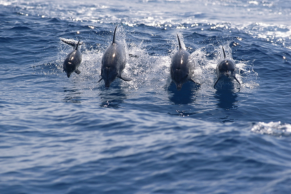 Family group of Atlantic spotted dolphins (Stenella frontalis) jumping above waves, Bahamas - 1036-31