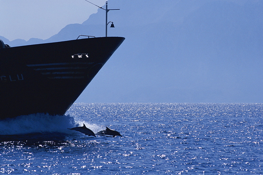 Common dolphins (Delphinus delphis) bowriding infront of large boat, Atlas Mountains, Gibraltar Strait, Africa.