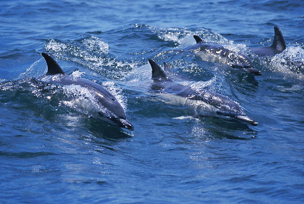 Pod of Common dolphins surfacing (Delphinus delphis). - 1036-35
