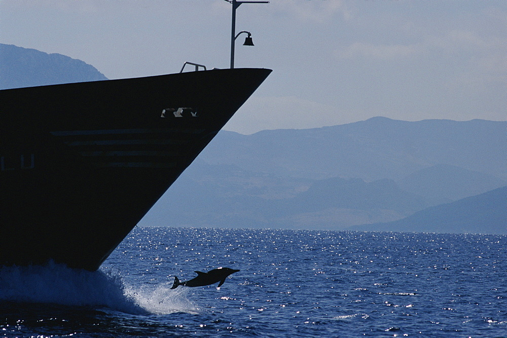 Common dolphin (Delphinus delphis) jumping from bow wave of tanker off
