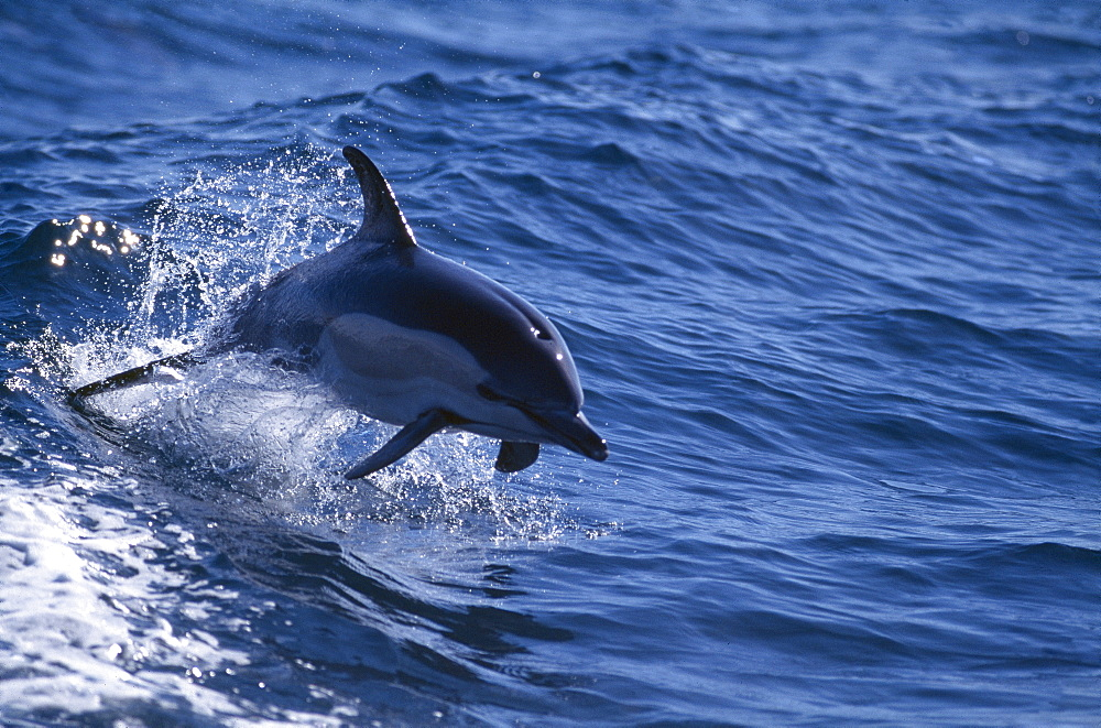 Common dolphin (Delphinus delphis) leaping from wave. Shows position of pectoral fins for direction and tail for power. Gibraltar